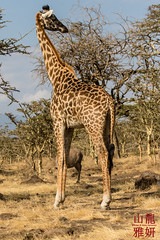 Maasai Giraffe in the NCA (DragonSpeed) Tags: 28thkitsilanoscoutgroup 28thvancouverscoutgroup africanwildcatsexpeditions giraffacamelopardalistippelskirchi maasaigiraffe masaigiraffe ngorongoroconservationarea safari scouts scoutscanada tanzania tanzaniaexpedition2018 venturerscouts venturers mammal serengetinationalpark arusha tz