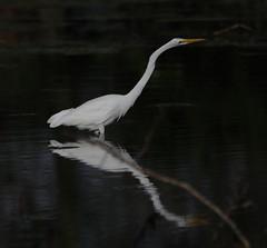 09-29-18-0036770 (Lake Worth) Tags: animal animals bird birds birdwatcher everglades southflorida feathers florida nature outdoor outdoors waterbirds wetlands wildlife wings