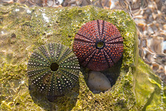 They lived a lonely life (yuriye) Tags: yuriiye yuryelysee sea urchin echinoidea animal stone skeleton water reflection still life distortion wild ball pare море морской ёж t еж скелет камень decor art nature decorative old fun ionical ionian adriatic porto palermo albania природа жизнь натюрморт test macro