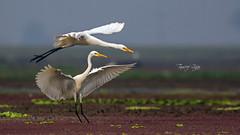 I wouldn't let you pass (Tauseef Zafar (Digital Fly)) Tags: egrets intermediateegrets acrobats wingspan birds birdsinpond waterbirds birdsplaying birdsofpakistan canoneos7dmarkii tauseefzafar