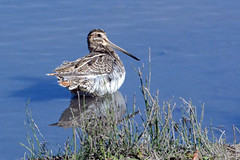 A sunbathing snipe (E P Rogers) Tags: wader wetland feathers tail beak sunning bird