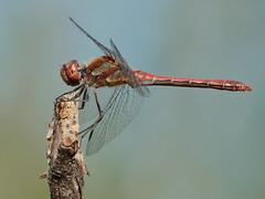 Sympetrum sp. (Paolo Bertini) Tags: libellula dragonfly sympetrum verona corte molon