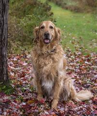 Bailey (Rainfire Photography) Tags: goldenretriever dog senior autumn fall leaves nikon d7200