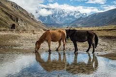 Horses in the Chozo valley - Lunana Gewog - Gasa District - Snowman Trek - Bhutan (PascalBo) Tags: nikon d500 asie asia southasia asiedusud drukyul drukgyalkhap bhutan bhoutan འབྲུག་ཡུལ། འབྲུག་རྒྱལ་ཁབ་ snowman trek trekking hike hiking lunana gasa himalaya himalayas jigmedorjinationalpark mountain montagne horse mule animal reflection reflet snow neige outdoor outdoors pascalboegli