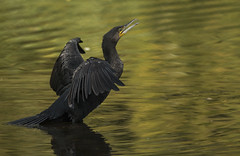 Cormorant - Liquid Gold (Ann and Chris) Tags: cormorant avian brandonmarsh lake yellow bird canon7dmarkii nature animal wildlifetrusts