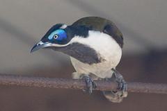 Blue-faced Honeyeater (steve happ) Tags: australia bluefacedhoneyeater coonabarabran newsouthwales