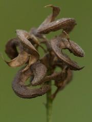 1-P1120142-001a (Kaska Ppp) Tags: macro macrophotography macromonday macromondays nature naturephotography natur plant