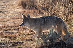 Coyote Profile ((JAndersen)) Tags: coyote animal wildlife nature nationalpark grandteton tetons wyoming usa nikon nikkor20005000mmf56 d810