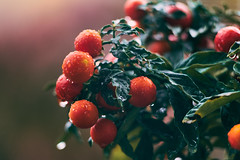 Wet berries II (drop_m) Tags: old oldlens manual manuallens manualfocus deepoffield dof deep field primelens prime vintage vintagelens pentacon pentacon135mm pentacon135mm28 pentacon135mmf28 135mm f35 f28 sony sony7rii sonyalpha7rii sonyilce7rm2 sonyalpha 7rmii 7rm2 ilce7rm2 helicoid focusinghelicoid macrofocusinghelicoid macro macrorings macrounlimited closeup berries wet rain drops drop droplet droplets dream dreamy bokeh bokehlicious bokehofvintageprimes soft calm plant leaf leaves fruit fruits fall autumn 2018 italy pink red orange green rainy rains warm