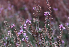 Suddenly, the heather was flowering again! (Elisa1880) Tags: heide heath heather bloei flowering herfst autumn