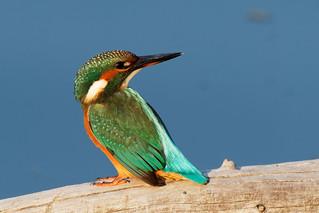 Blauet - Martín pescador - Guarda-rios - Martin pêcheur - Alcedo atthis - Kingfisher