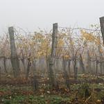 Foggy vineyard in Grinzing/Vienna thumbnail