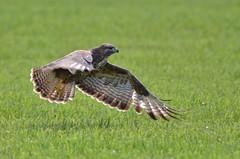 Buizerd (common buzzard) (mariogrievink) Tags: buizerd commonbuzzard birdsofprey inflight roofvogels nederland netherlands nikond7000 tamron150600mmg2