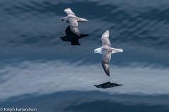 Two Seabirds (Ralph Earlandson) Tags: baffinbay oceanendeavour adventurecanada davisstrait bird fulmar droh dailyrayofhope2019