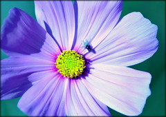 Fly on flower (* RICHARD M (Over 8.5 MILLION VIEWS)) Tags: flowers petals florets flora nature fly diptera panorpida insecta insects flyinginsects entomology botany heskethpark southport sefton merseyside macro