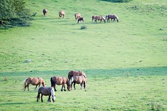 Au port de Castet (Ezzo33) Tags: france nouvelleaquitaine pyrénéesatlantiques laruns vallée ossau ezzo33 nammour ezzat sony rx10m3 chevaux troupeau troupeaux cheval transhumance