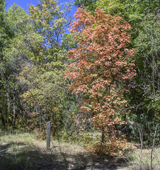 Along the Main Trail (Tom Kilroy) Tags: fourthofjulycampground manzanomountains newmexico tree nature forest outdoors landscape scenics grass woodland greencolor sky blue summer ruralscene plant autumn season beautyinnature nopeople environment branch maple red