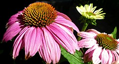 Asteraceae (janetfo747 ~ Dreaming of Africa) Tags: flower bloom blooms color colorful garden plant vine bulb red floral nice glory shining