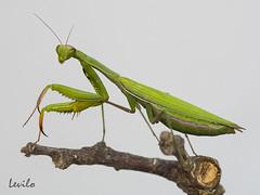 Mantis religiosa (levilo) Tags: mantis religiosa arthropoda mantidae insecto levilo pentax