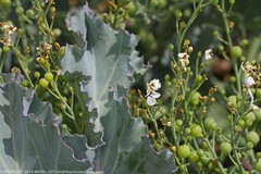 Sea-kale (Crambe maritima) Shoreham Beach 8.9.2018 (6) (wildlifelover69) Tags: seakale crambemaritima shorehambeach 892018 wildflowerswhite shorehambysea shoreham westsussex
