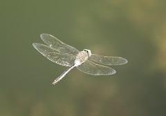 Lesser Emperor (Anax parthenope) Male (Rezamink) Tags: anaxparthenope lesseremperor dragonflies odonata uae