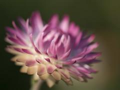 Impression en rose *---- ° (Titole) Tags: everlastingflower pink titole nicolefaton shallowdof
