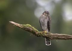 Sparrowhawk Hunting Post W 4th September copy (Gavin Vella) Tags: sparrowhawk hawk birdofprey birds predators hunting huntingpost