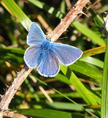 Adonis Blue (mel_straw) Tags: winged adonis insect insects papilionoidea macro wings blue nature butterflies butterfly