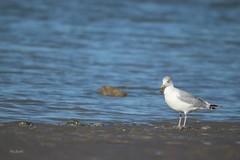 goéland leucophée (Ab.david) Tags: mouette océan sable oiseau mer plage eau baie de somme france littoral rivage goéland leucophée vague animal