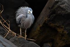 White-faced Heron (Egretta novaehollandiae) (Ian Colley Photography) Tags: queensland bird canoneos7dmarkii ef500mmf4lisusm whitefacedheron egrettanovaehollandiae