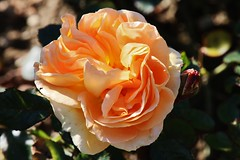 Rose (Hugo von Schreck) Tags: hugovonschreck flower blume blüte canoneos5dsr rose tamron28300mmf3563divcpzda010