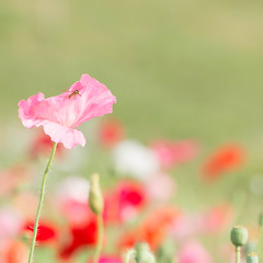Summer Memories... (Gisou68Fr) Tags: coquelicots poppies summer été syrphe hoverfly bokeh vert green rose pink rouge red insecte insect fleur flower fleurs flowers canoneos650d ef100mmf28lmacroisusm 2018 juillet july