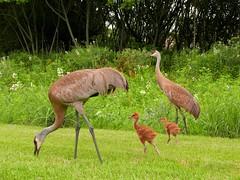 SANDHILL CRANE FAMILY (Rob Patzke) Tags: sandhill crane panasonic lumix lx100 family colts grass feeding