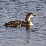 Common Loon - Immature thumbnail
