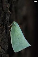 Planthopper (harshithjv) Tags: insect planthopper fulgoroid flatidae euarthropoda insecta hemiptera fulgoroidea canon 80d tamron 90mm godox diffuser macro