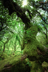 In Wistman's Wood (dieLeuchtturms) Tags: devon dartmoor england 2x3 grosbritannien wald europa wistmanswood europe greatbritain forest princetown vereinigteskönigreich gb