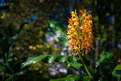 Pretty Orange Flower (John Brighenti) Tags: nature brooksidegardens wheaton maryland montgomerycounty moco montgomery parks outdoors conservatory park autumn fall plants sony alpha a7 a7rii ilce7rm2 sel70300g green leaves bokeh orange