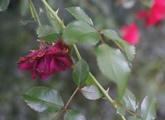 DSC09519 (Old Lenses New Camera) Tags: sony a7r wollensak microraptar macro 506mm f6 plants garden flowers roses