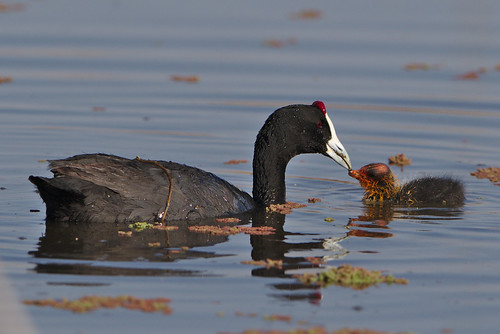 """Red-knobbed Coot (or Crested Coot), with young,  at Marievale Nature Reserve, Gauteng, South Africa • <a style=""""font-size:0.8em;"""" href=""""http://www.flickr.com/photos/93242958@N00/44504920074/"""" target=""""_blank"""">View on Flickr</a>"""