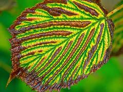 Tiger (F0t0graphy) Tags: macro leaf fall autumn micro canada nikkor jamesbay nikon britishcolumbia victoria