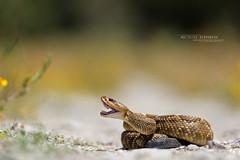Crotalus molossus oaxacus (Matthieu Berroneau) Tags: trip mexique sony alpha macro nature france herpéto wildlife animal animaux ff 24x36 full frame a7ii 7ii 7mk2 sonyilce7m2 herping herpeto reptile reptilian reptilia serpent serpente snake serpentes snakes serpiente field herp venomous poisonous serpents sonya7ii sonya7mk2 sonyalpha7mark2 sonyalpha7ii 90 28 fe f28 g oss fe90f28macrogoss sonyfesonyfe2890macrogoss objectifsony90mmf28macrofe sel90m28g crotalus molossus oaxacus crotalusmolossusoaxacus crotalusmolossus cascabel de cola negra oaxaqueña cascabeldecolanegraoaxaqueña cascabeldecolanegra oaxacan blacktailed rattlesnake oaxacanblacktailedrattlesnake blacktailedrattlesnake crochet fangs mexico