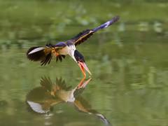 Black-capped Kingfisher _Bulou ☺ (mahi mahi 163) Tags: kingfisher 80400mm china