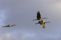 Two adult sandhill cranes followed by a juvenile at sunrise Sherburne Wildlife Refuge, Zimmerman, Minnesota (Lorie Shaull) Tags: wisconsin cranes crexmeadows gruscanadensis sandhillcrane grantsburg bird birdmigration birdwatching birds