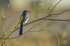 California Scrub-Jay (Aphelocoma californica) (byjcb) Tags: jay birds sparks nevada unitedstates us