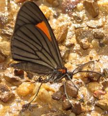 geometrid (Birdernaturalist) Tags: bolivia geometridae lepidoptera moth richhoyer
