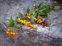 muretti autunnali (fotomie2009) Tags: berries berry bacche bacca yellow autumn autunno automne