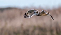 Short eared owl in flight (ftm599) Tags: teeside nikond850 photography nikonphotography wildlifephotography naturephotography actionphotography hunting hunter nikon nature wildlife wild lookingatyou action flying birdofprey bif birds bird birdinflight owls owl shortearedowl