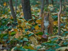 Herbsthoernchen (lebastian) Tags: squirrel eichhörnchen wood herbst autumn panasonic dmcgx8 lumix g vario 45150f4056