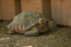 Desert Tortoise (Gopherus agassizii) (byjcb) Tags: tortoise henderson nevada unitedstates us
