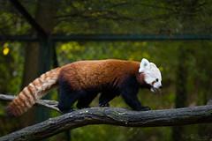 Red panda (Cloudtail the Snow Leopard) Tags: panda ailurus animal bär bärenkatze eat eating feuerfuchs firefox fulgens goldhund katzenbär kleinbär kleiner mammal red roter säugetier tier zoo saarbrücken saarbruecken
